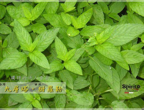 氣味獨特的香草植物「九層塔。羅勒」